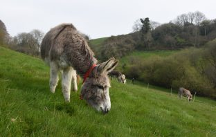 The Donkey Sanctuary donkeys Sidmouth
