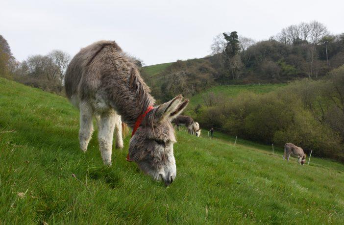The Donkey Sanctuary donkeys Sidmouth