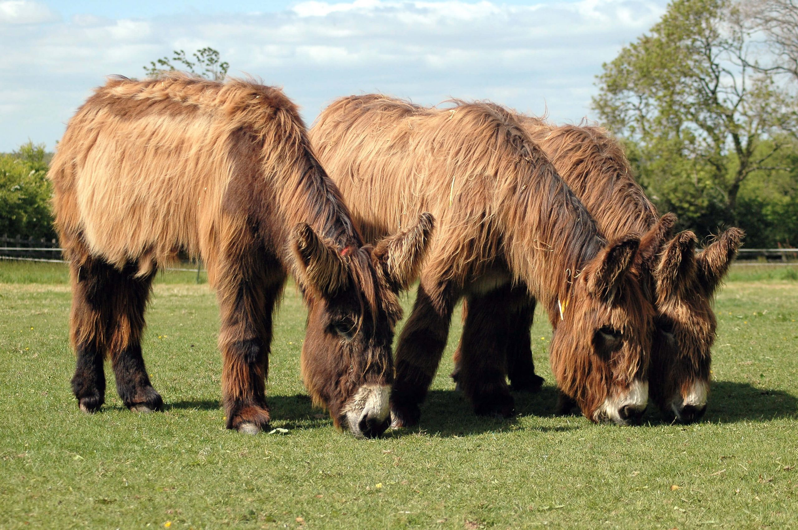 Poitou donkeys - The Donkey Sanctuary Sidmouth