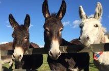 Image courtesy of The Donkey Sanctuary.