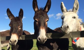 Image courtesy of The Donkey Sanctuary.