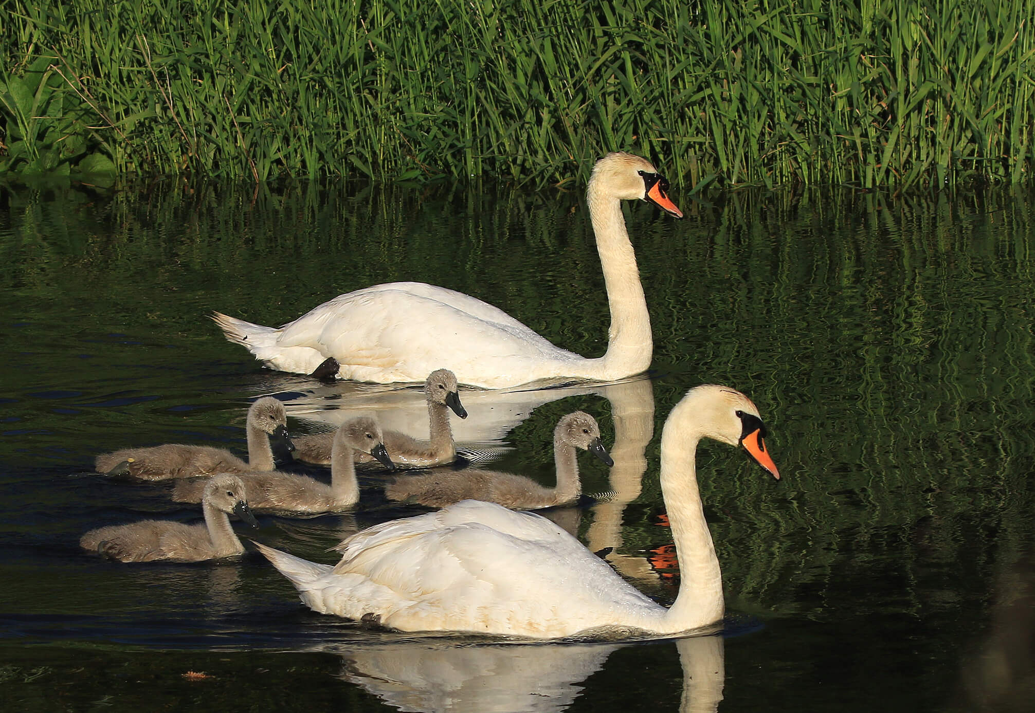 East Devon and River Otter: The White Bridge swans, near Budleigh Salterton, before the injury. Image: David R White