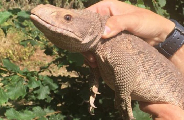 Rex the runaway monitor lizard was found in an Exeter park. Picture: Exeter City Council