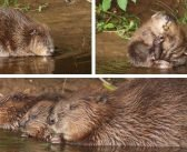 Government 'landmark' decision grants go-ahead for River Otter beavers to remain in East Devon