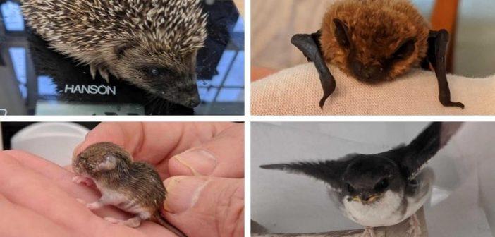 East Devon 'wildlife hospital' launches fundraising bid as demand soars since lockdown