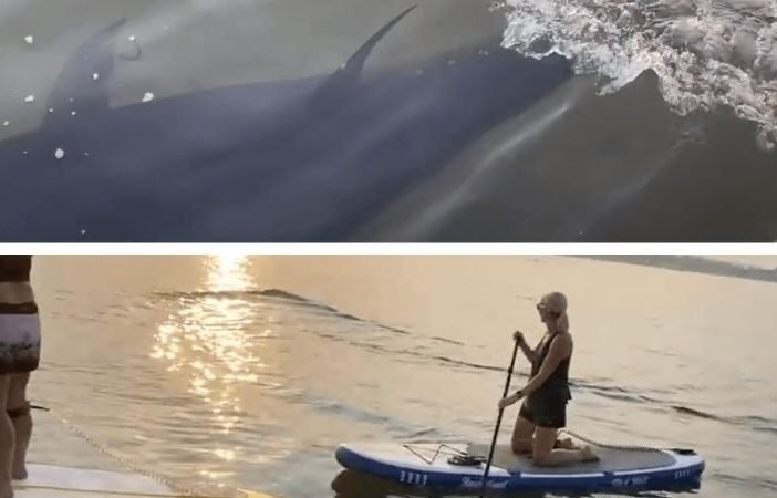 The 10ft tuna was spotted by paddleboarders off Exmouth. Image: Derek Johnson on Youtube