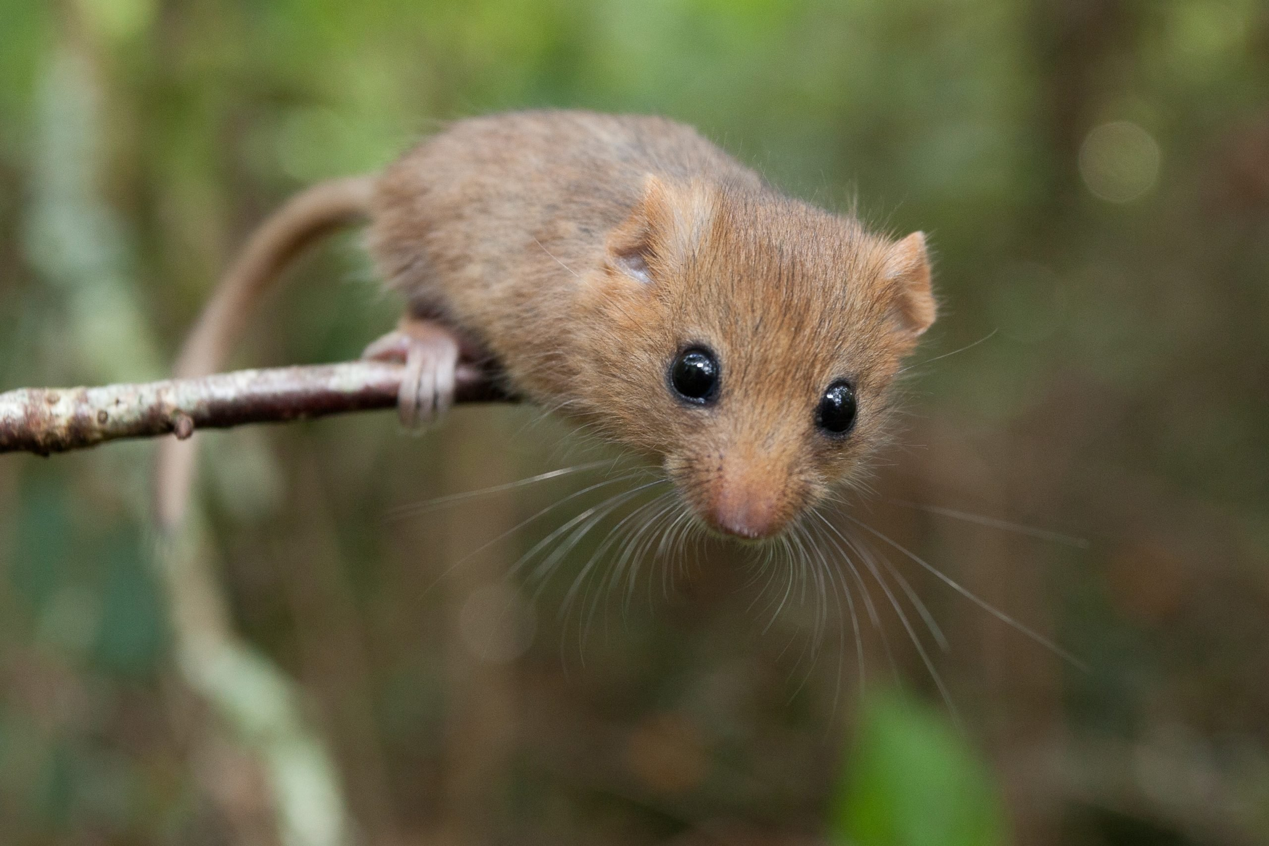 Hazel dormice are thriving at The Donkey Sanctuary. Picture: Clare Pengelly PTES