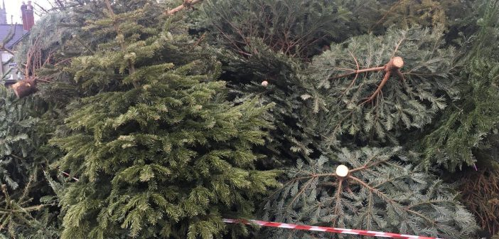 Where you can recycle your Christmas tree in East Devon: Sites in Axminster, Broadclyst, Budleigh, Cranbrook, Exmouth, Honiton, Ottery St Mary, Seaton and Sidmouth