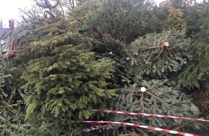Christmas tree recycling in East Devon - the Boradlcust site in 2020.