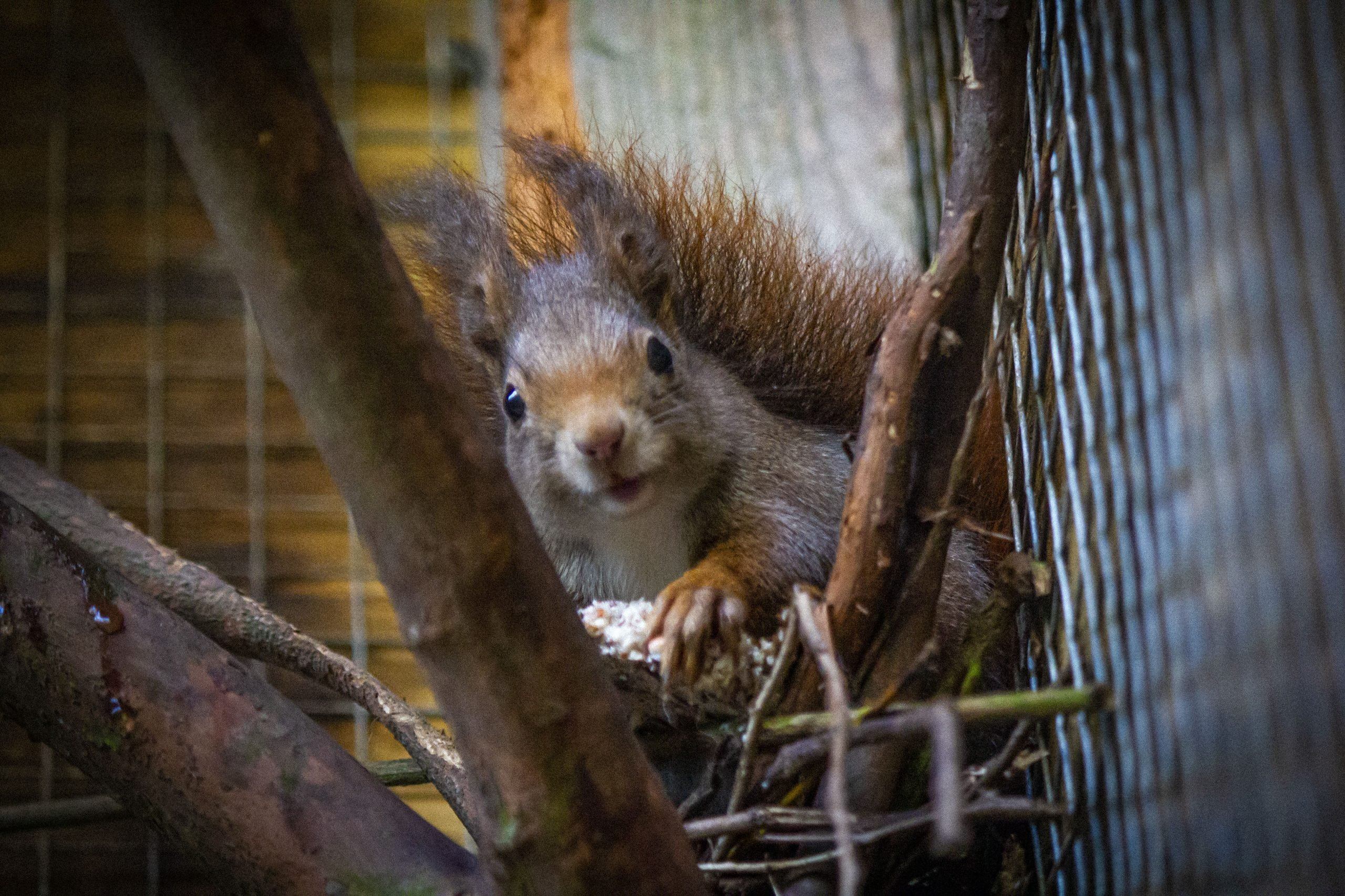 East Devon Radish the red squirrel was hailed as a 'real star' by staff at Wildwood Escot near Ottery St Mary. Picture: Wildwood Escot