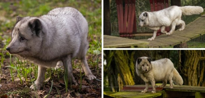 Wildlife park near Ottery launches competition to name its new arctic fox