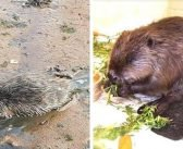 VIDEO: Feeling a dam sight better! Beaver rescued from muddy estuary near Exmouth is released back into wild on River Otter