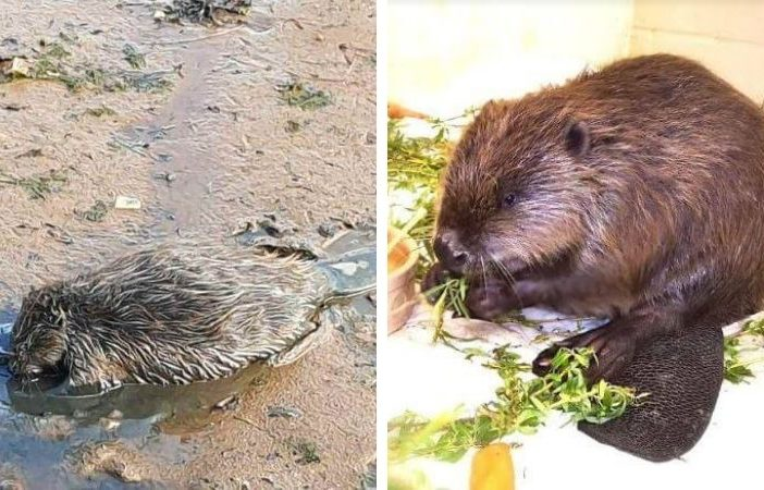 The beaver was nursed back to health after being found collapsed and covered in mud near Exmouth. Image, left: Tony Bennett/ Wild Woodbury. Image, right: RSPCA