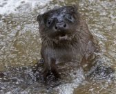 PHOTOS: Otterly adorable pair plays in river near Sidmouth